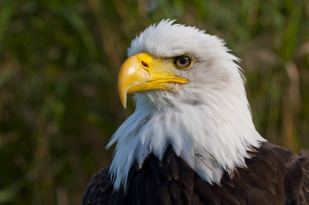 aguila calva: Retrato de un águila calva Foto de archivo