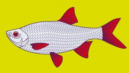 Fish  illustration  Scardinius erythrophthalmus  Illustration