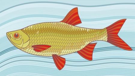 scardinius: Fish illustration  Scardinius erythrophthalmus