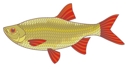 Fish illustration  Scardinius erythrophthalmus