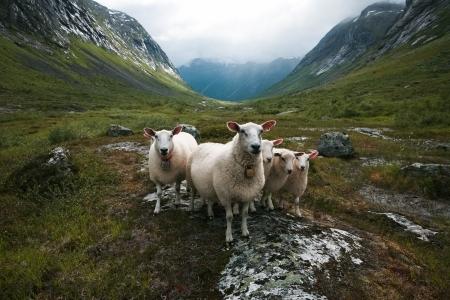 Flock of sheep  Scandinavia,  Troll s valley
