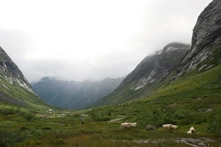 Flock of sheep  Scandinavia,