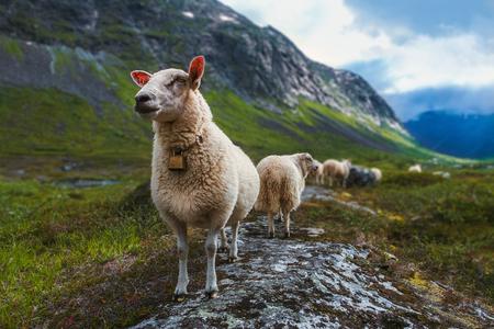 Flock of sheep in mountains of Scandinavia. Trolls valley