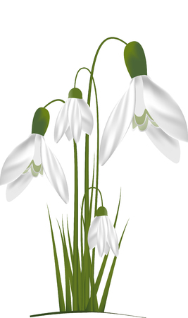 Snowdrops flower icon Çizim
