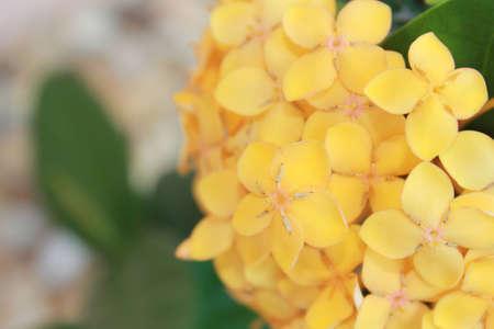 金の黄金色の花房のソフト クローズ アップ イクソラ