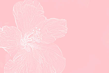 white hybiscus outline on pastel pink background Фото со стока