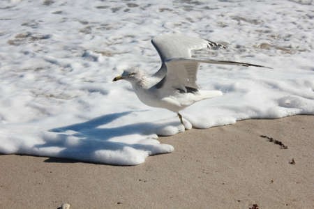 seagull at beach flaps wings photo
