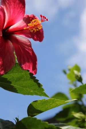 空を背景にピンクの hybiscus
