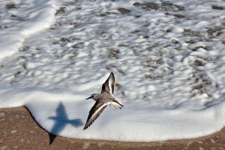 sandpiper flies over wave foam at beach Banco de Imagens