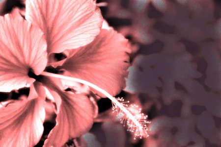 ハイビスカス モノクロ柔らかいピンクの背景 写真素材