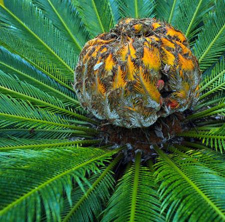 Sago palm with flower Фото со стока