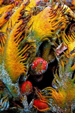 Sago palm pod flower with seeds closeup Фото со стока