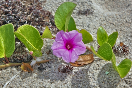 해변 모래에 나팔꽃과 철도 포도 나무 스톡 콘텐츠