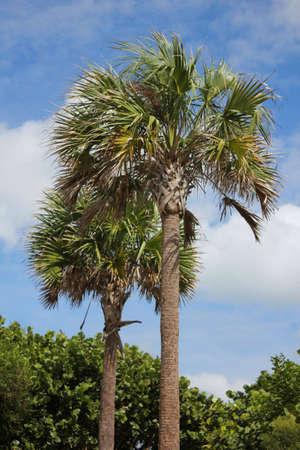 Sabal Palms blowing in ocean wind