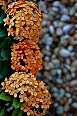 three ixora blooms in a row in stone garden