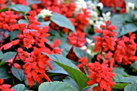 red salvia fills garden Banco de Imagens