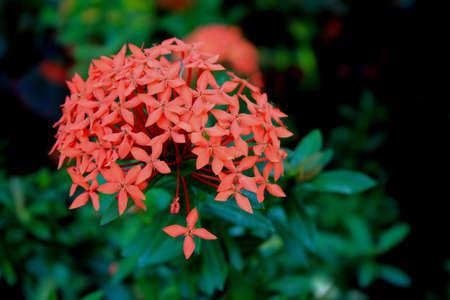 orange ixora flower bloom Banco de Imagens