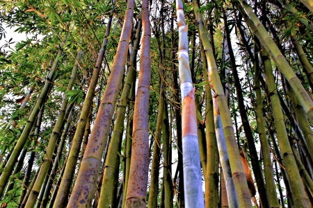 bamboo trees upward view