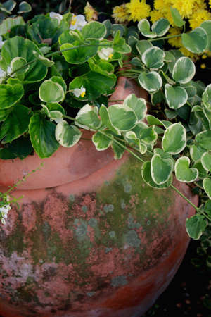 clay pot with over flowing vines and flowers