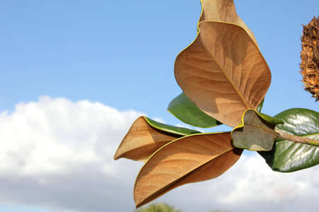 magnolia leaves on branch against blue sky with cloud