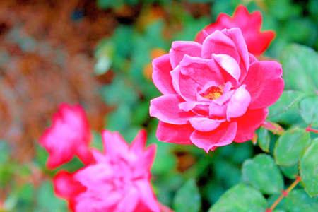 pink tea roses in garden point of focus
