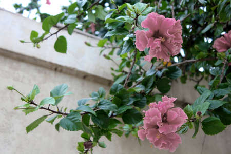 pink hybiscus growing against wall