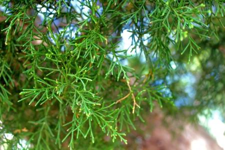 soft point of focus fir tree close-up