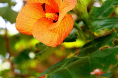orange hibiscus above green leaves