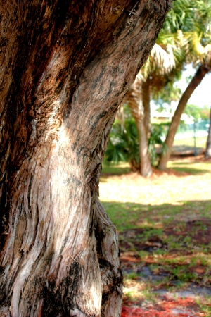 old fir tree trunk point of focus palms in background
