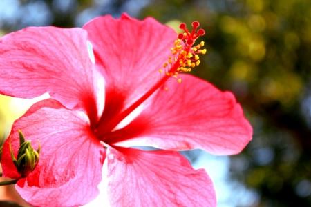 soft bright pink hibiscus