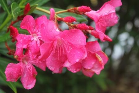 closeup dark pink azaleas in rain