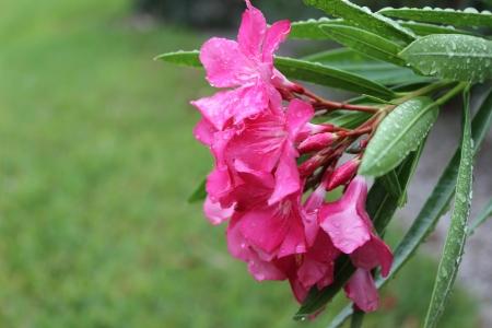 pink azalea against green grass