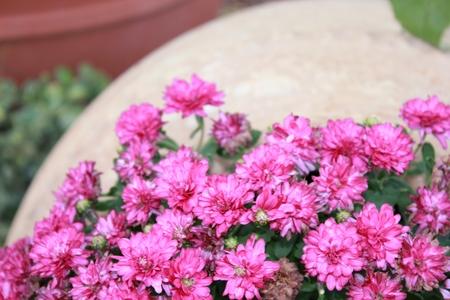 pink flowers on sidewalk