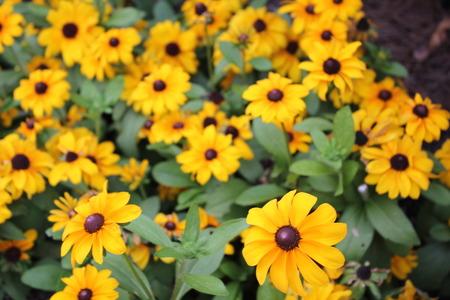 black eyed suzy flowers
