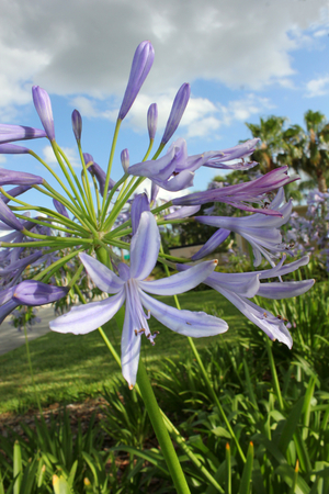 Agapanthus close up in garden