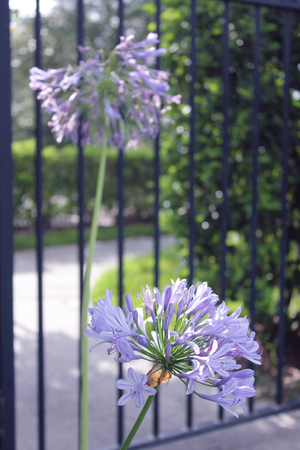 Agapanthus in front of gate