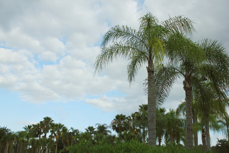Palm Trees in Florida background