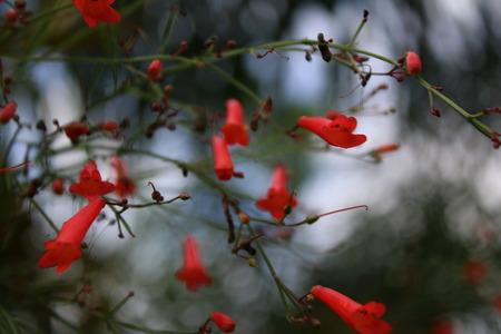 firecracker: red firecracker flowers on stems after rain Stock Photo