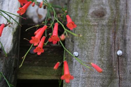 firecracker: pretty red firecracker flower grouping