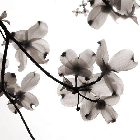 monochroom: Benthamidia florida, dogwood bloemen uitgesproken tegen het zonlicht Stockfoto