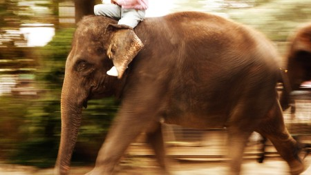 zoological: An elephant walking in the parade. Seen at a zoological park in Japan. Stock Photo