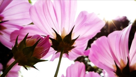 Pink cosmos flower enjoying a sunny day. photo