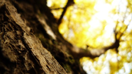 A Ginkgo Tree With Yellow Leaves Stock Photo - 7379046