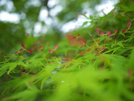 Seeds of Japanese Maple photo