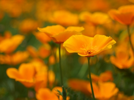 Californian Poppy photo