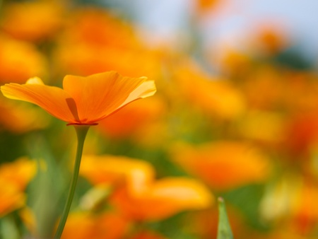 californian: Californian Poppy