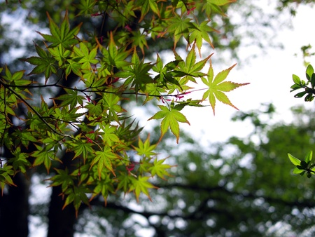 Young Japanese Maple Leaves