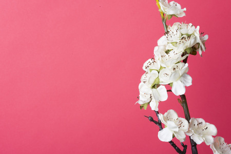 isolated background: White plum blossom isolated on red background.