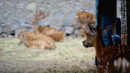 Sika Deer features Stock Photo