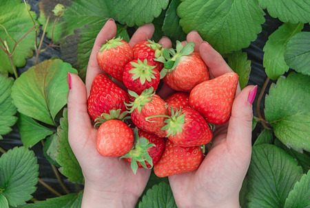 Overhead view of hands holding strawberries on green leaves background Stock Photo